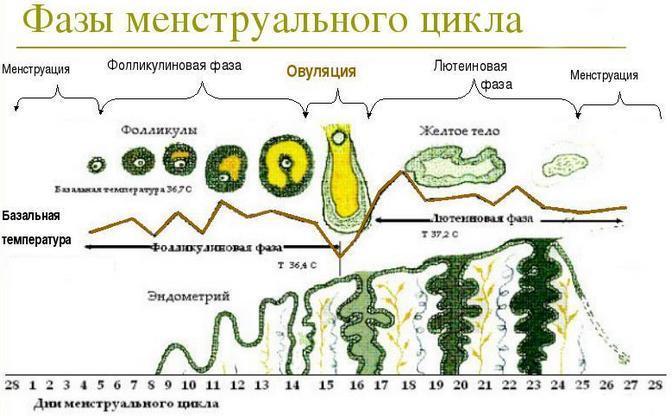 схема фаз цикла