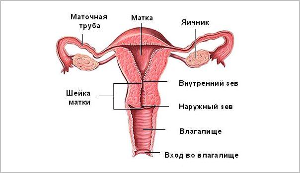 схема органов женщины